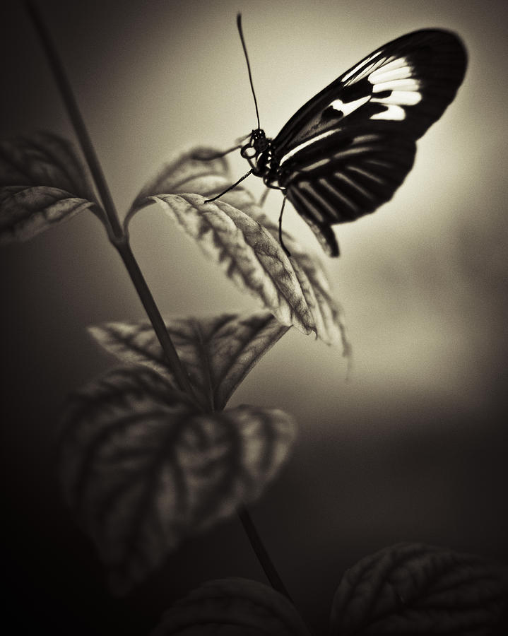 Butterfly Brown Tone Photograph