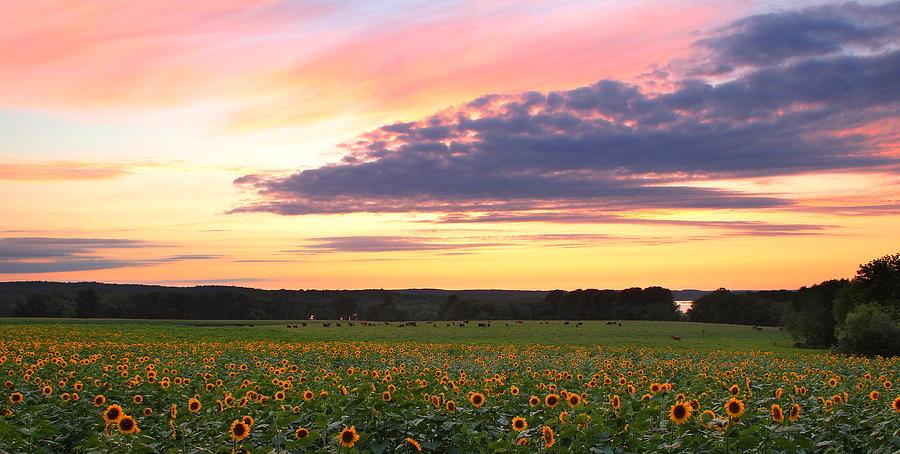 Sunflowers Photograph - Buttonwood Farm by Andrea Galiffi