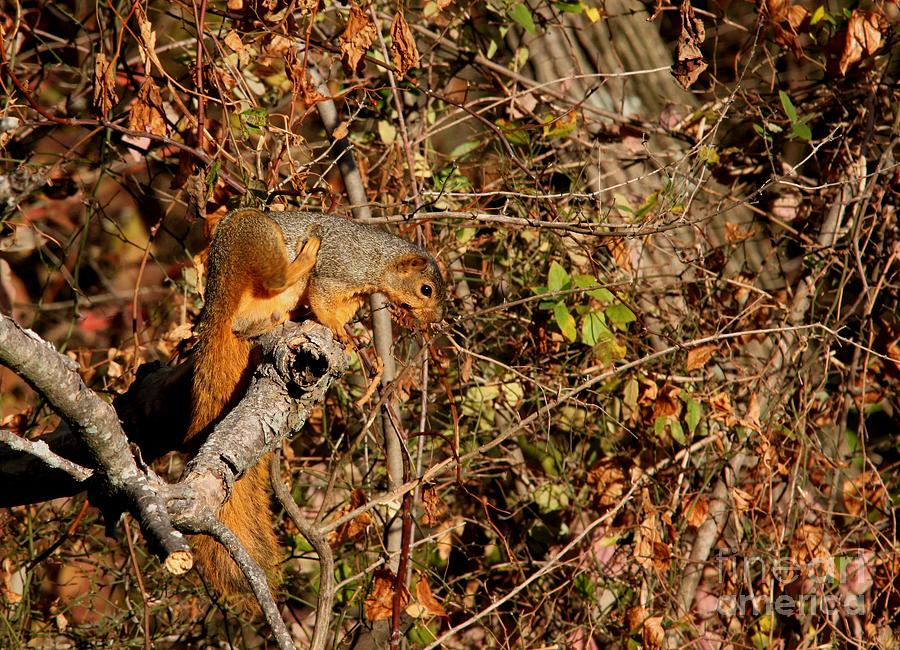 Eastern Fox Squirrel Photograph  - Eastern Fox Squirrel Fine Art Print