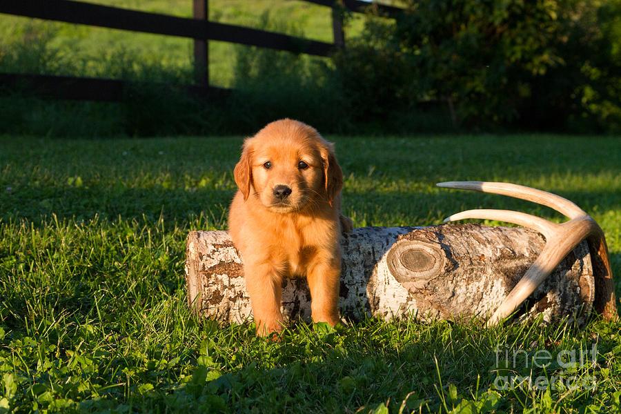 Golden Retriever Puppies Photograph