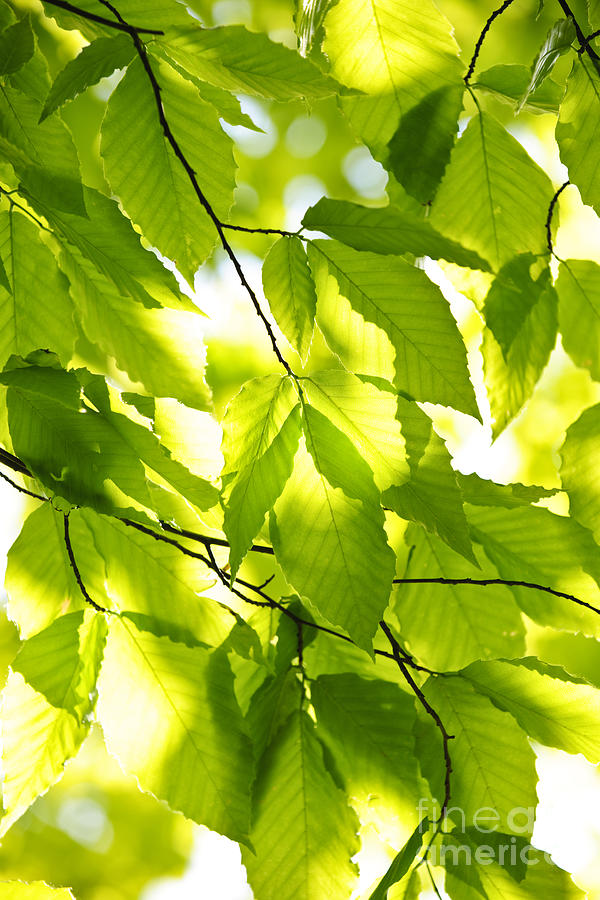 Green Spring Leaves Photograph