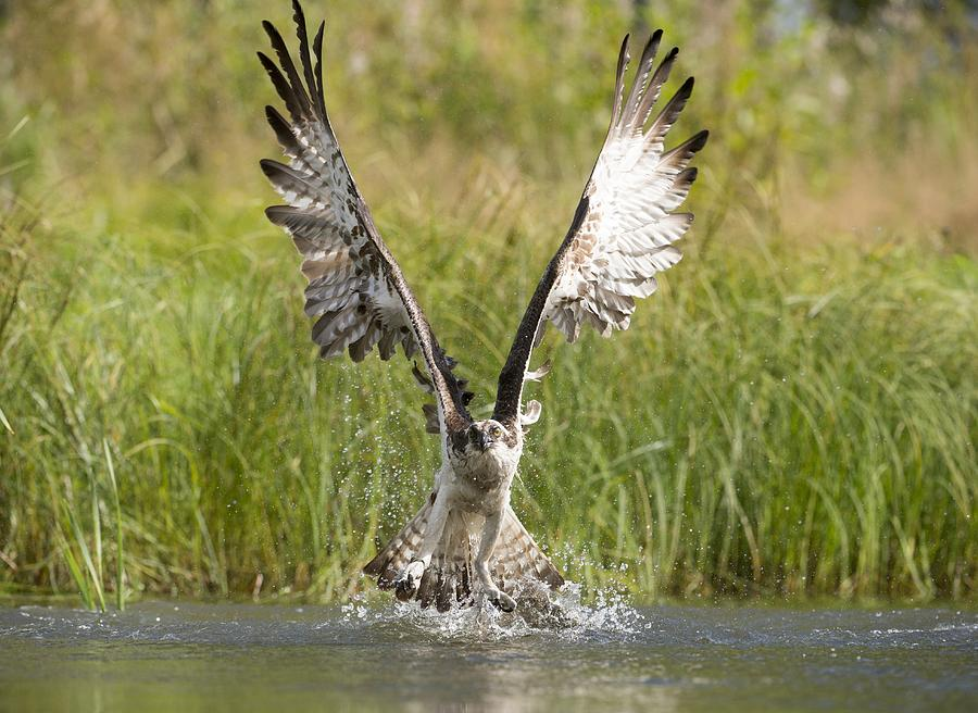 Osprey catching a fish photograph by science photo library for Osprey catching fish