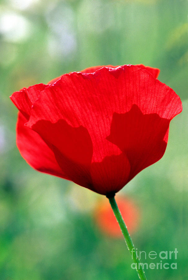 Poppy Flower Photograph  - Poppy Flower Fine Art Print