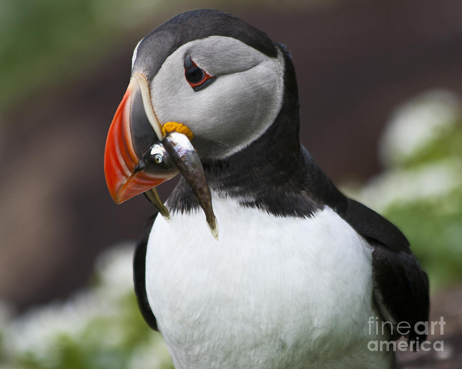 Puffin With Fish Photograph