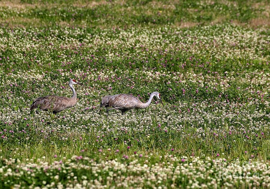 Sandhill Cranes Photograph