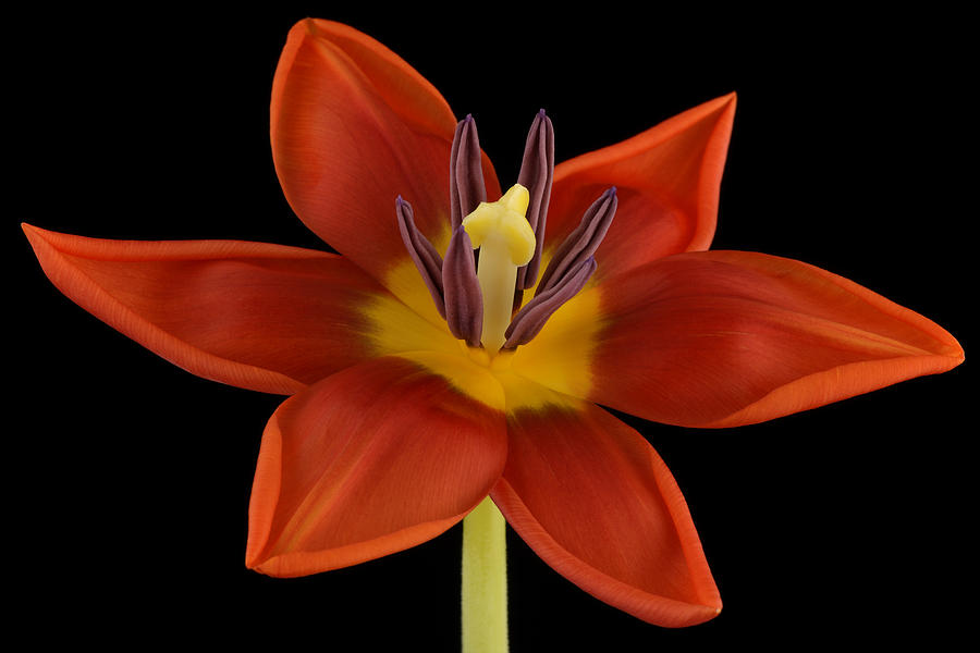 Beautiful Photograph - Tulip by Mark Johnson