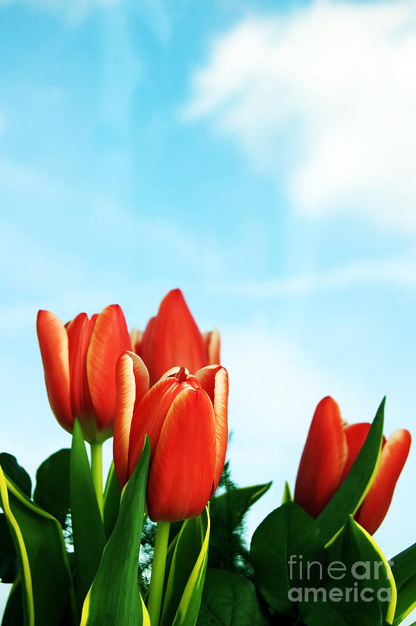 Tulips Background Photograph  - Tulips Background Fine Art Print