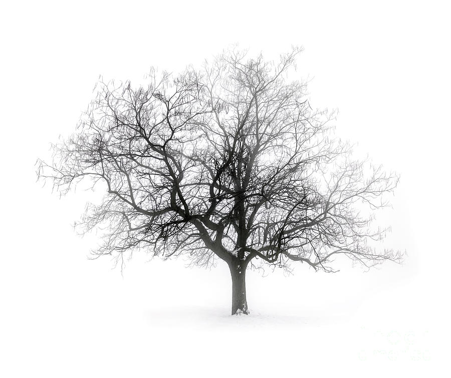 Winter Tree In Fog Photograph  - Winter Tree In Fog Fine Art Print