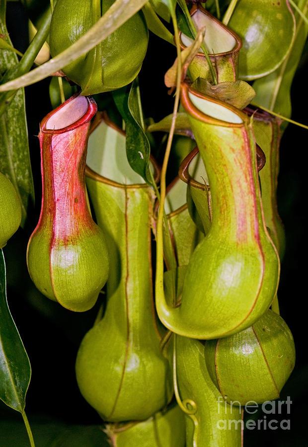 Asian pitcher plants