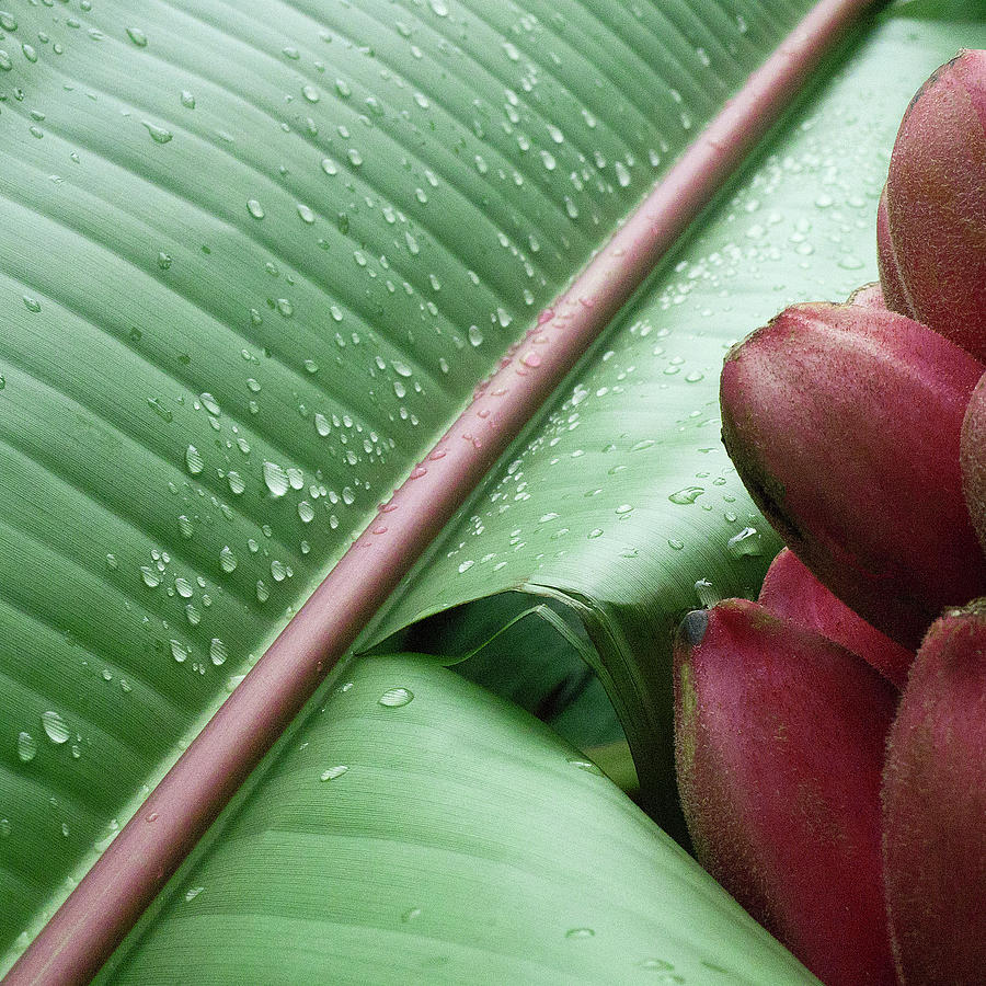 Banana Leaf Photograph  - Banana Leaf Fine Art Print