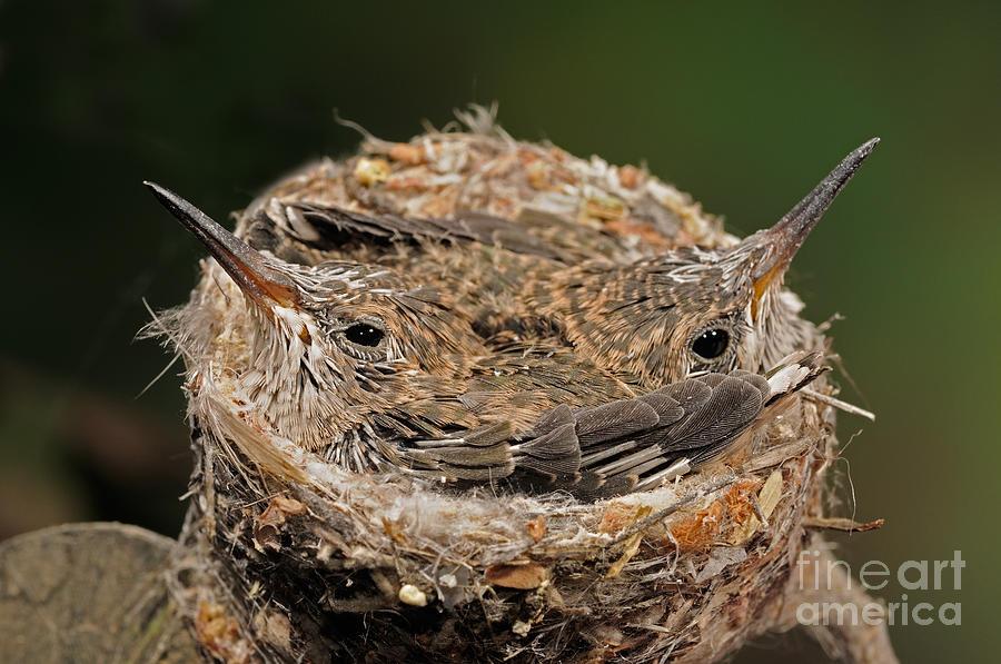 Broad Billed Hummingbird Photograph