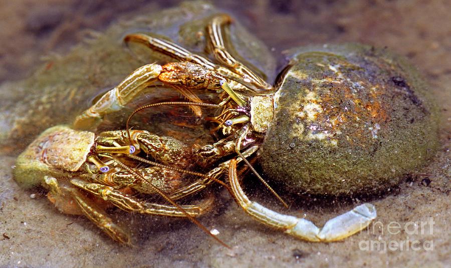 Thinstripe hermit crab - Wikipedia