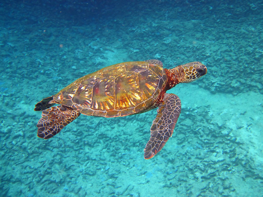 Hawaiian Green Sea Turtle Photograph By Mike Krzywonski