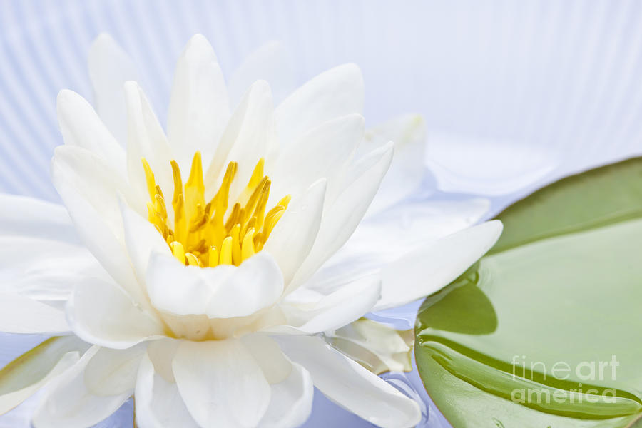 Lotus Flower Photograph