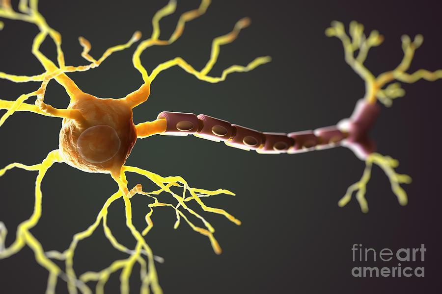 Multipolar Neuron Photograph  Labeled Multipolar Neuron Model