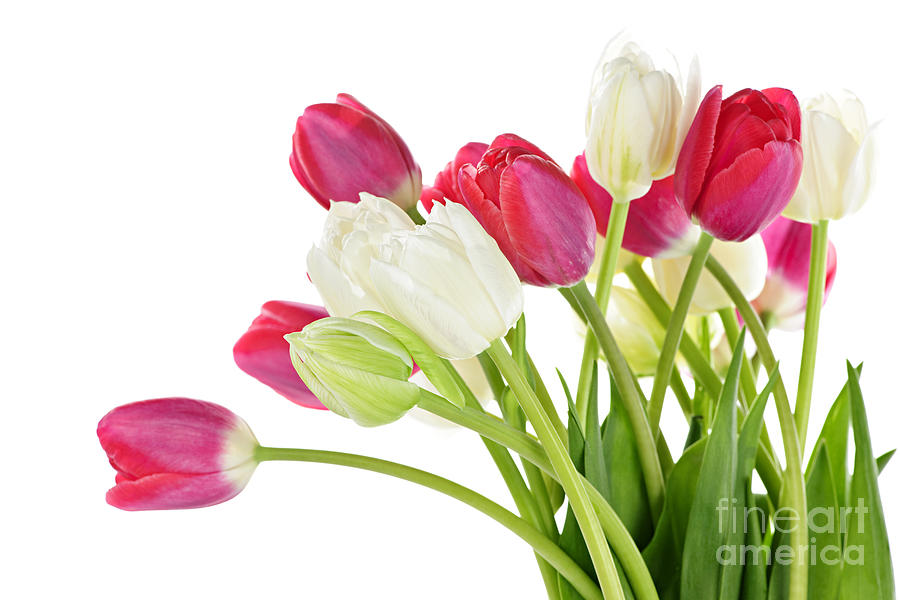 Red And White Tulips Photograph  - Red And White Tulips Fine Art Print