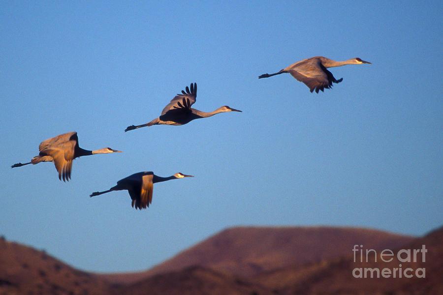 Birds Photograph - Sandhill Cranes by Steven Ralser