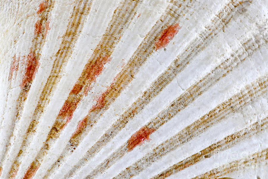 Seashell Surface Photograph  - Seashell Surface Fine Art Print