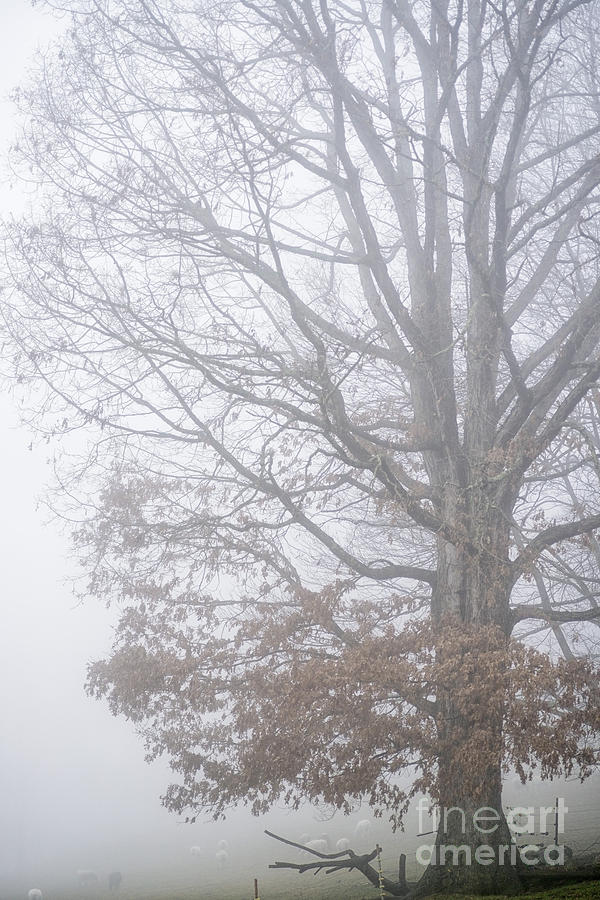 White Oak Tree In Fog Photograph  - White Oak Tree In Fog Fine Art Print
