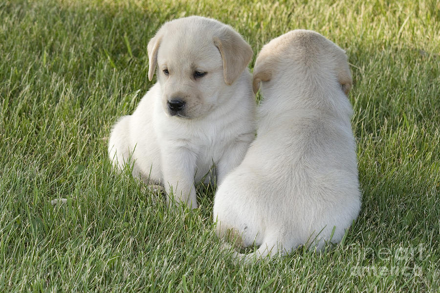 Yellow Labrador Puppy Photograph