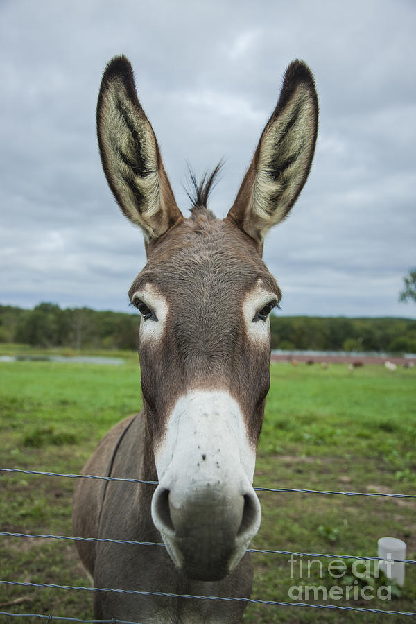 Animal Personalities Friendly Quirky Donkey Face Close Up Photograph