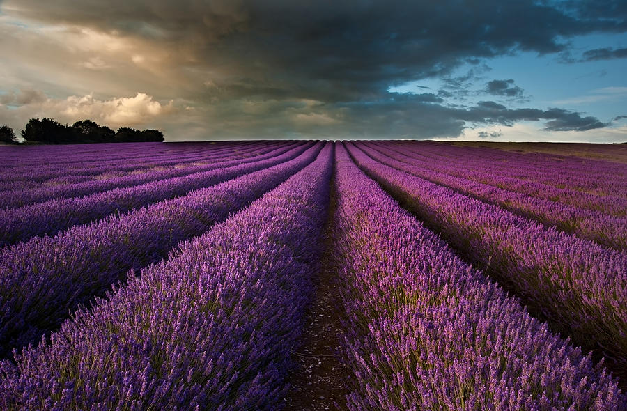 Beautiful Lavender Field Landscape With Dramatic Sky Photograph