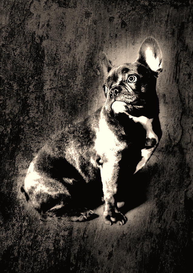 French Bulldog Photograph