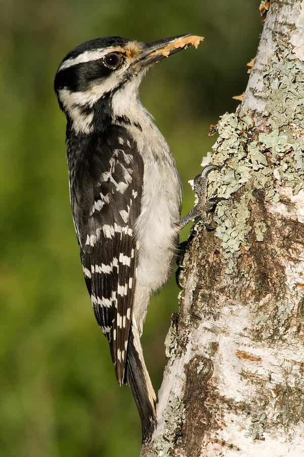 Hairy Woodpecker Photograph