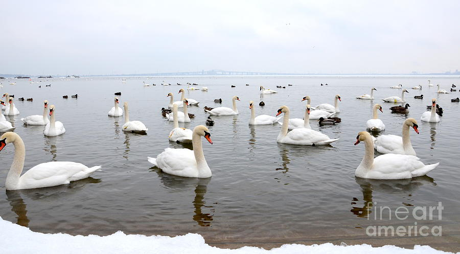 60 Swans A Swimming Photograph