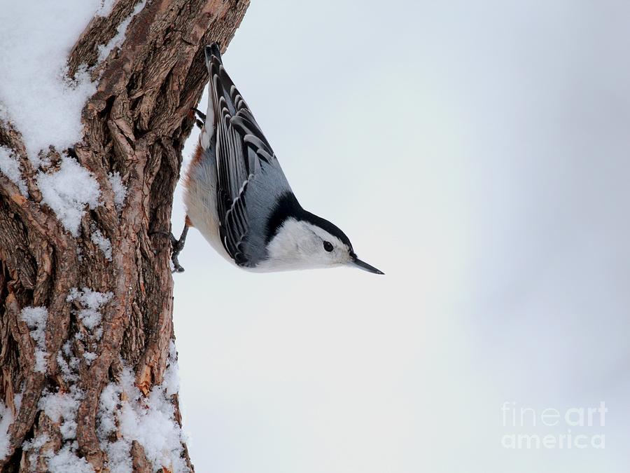 只贴着树干转圈,抓树表面落的虫子,但是也会轻微地哒哒哒连续敲树皮