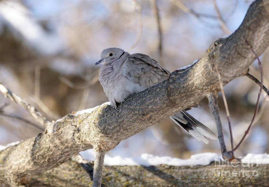Euarsian Collard Dove Photograph