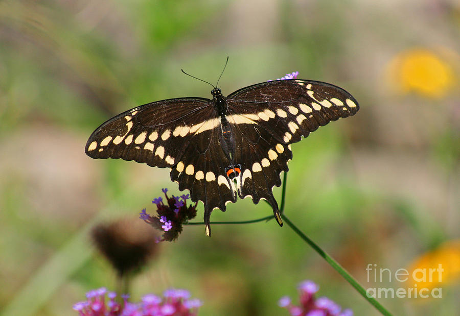 Giant Swallowtail Butterfly Photograph