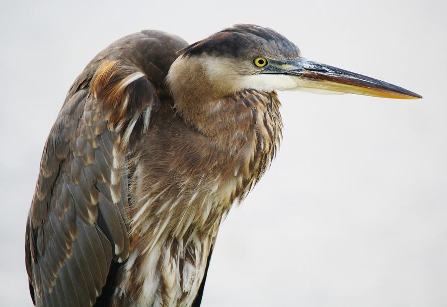 Great Blue Heron Photograph