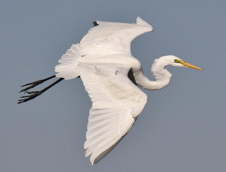 Great White Egret Photograph  - Great White Egret Fine Art Print