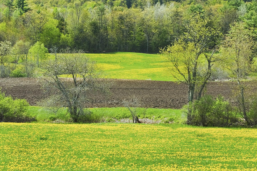 Spring Farm Landscape With Dandelion Bloom In Maine Photograph