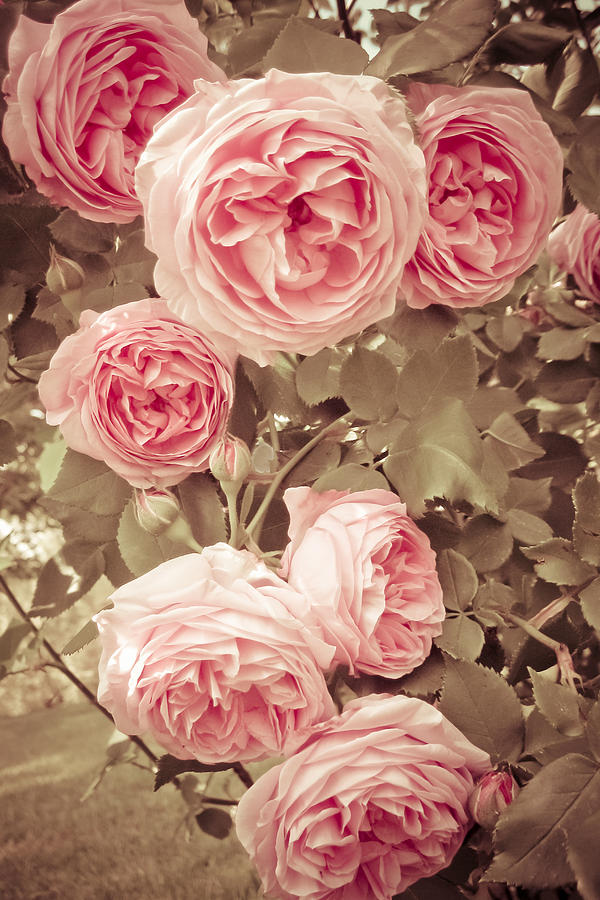 Vintage Style Paintings 7 Vintage Rose # Photo...
