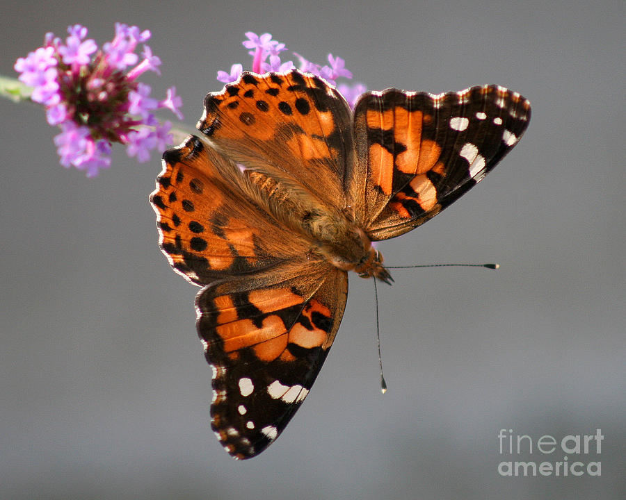 American Photograph - American Painted Lady Butterfly by Karen Adams