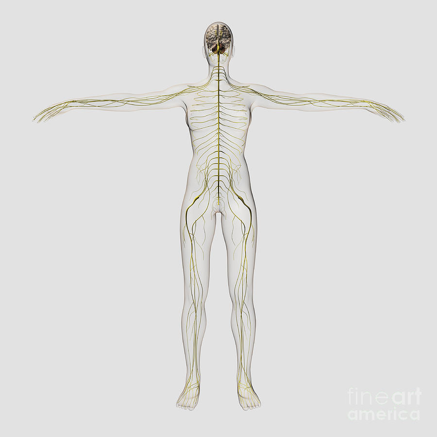 Medical Illustration Of The Human Digital Art  - Medical Illustration Of The Human Fine Art Print