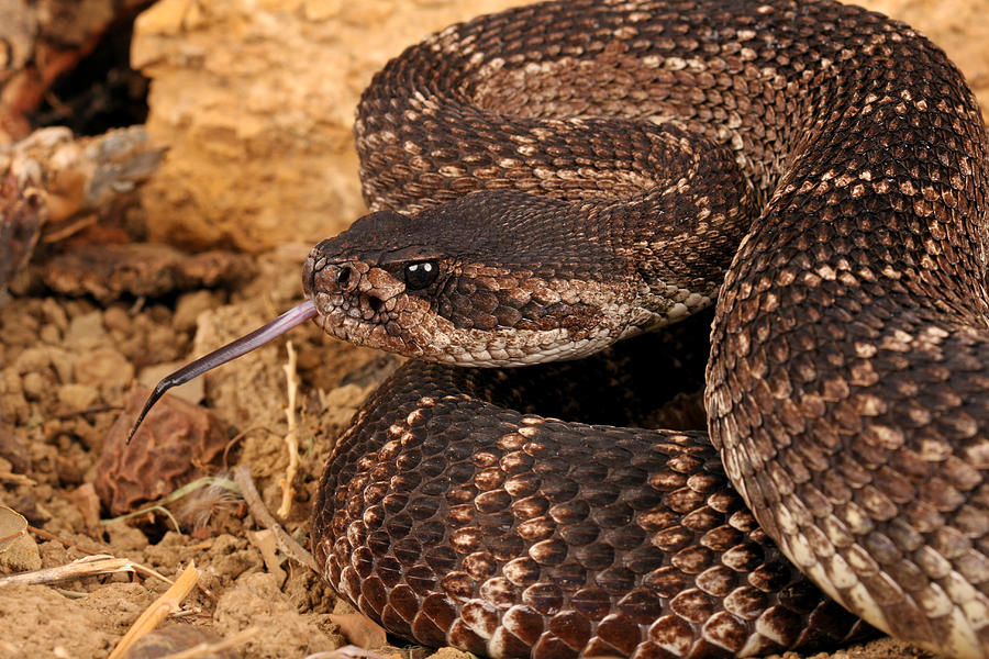Rattlesnakes and their control  ICWDM Home Page