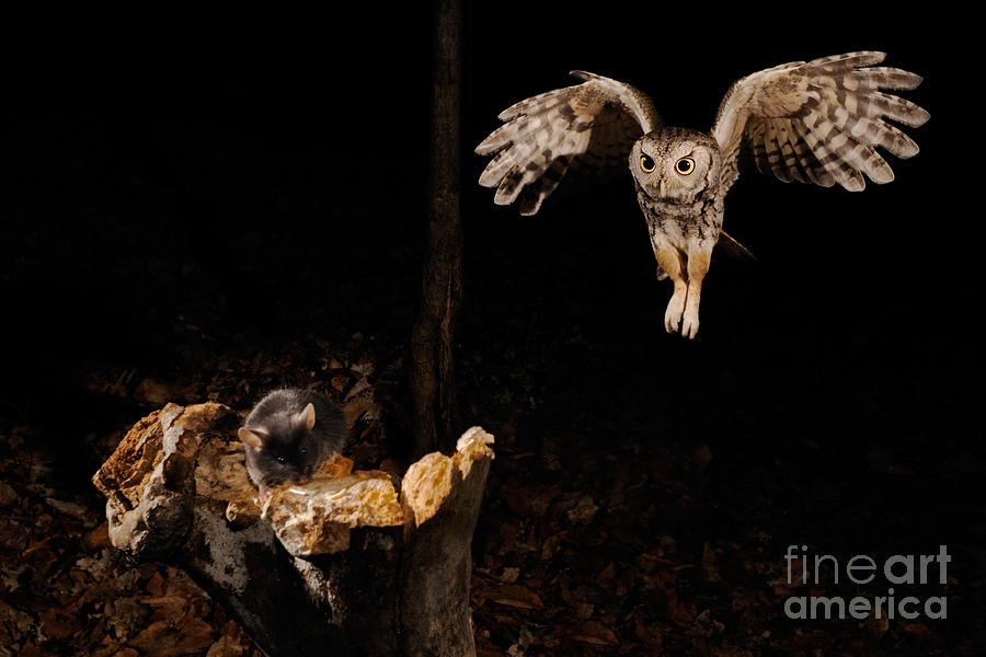Screech Owl Photograph - Eastern Screech Owl by Scott Linstead
