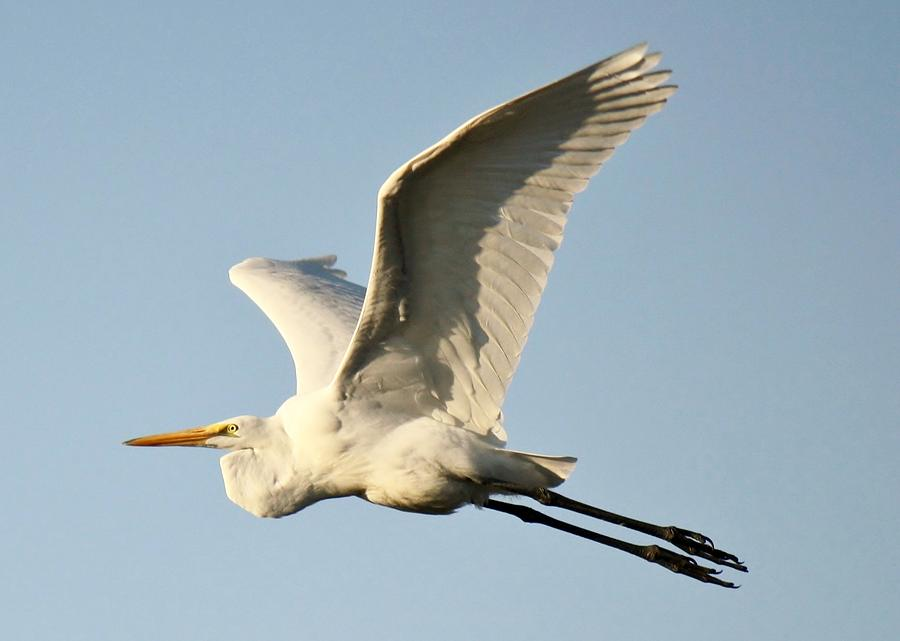 Great White Egret In Flight Photograph