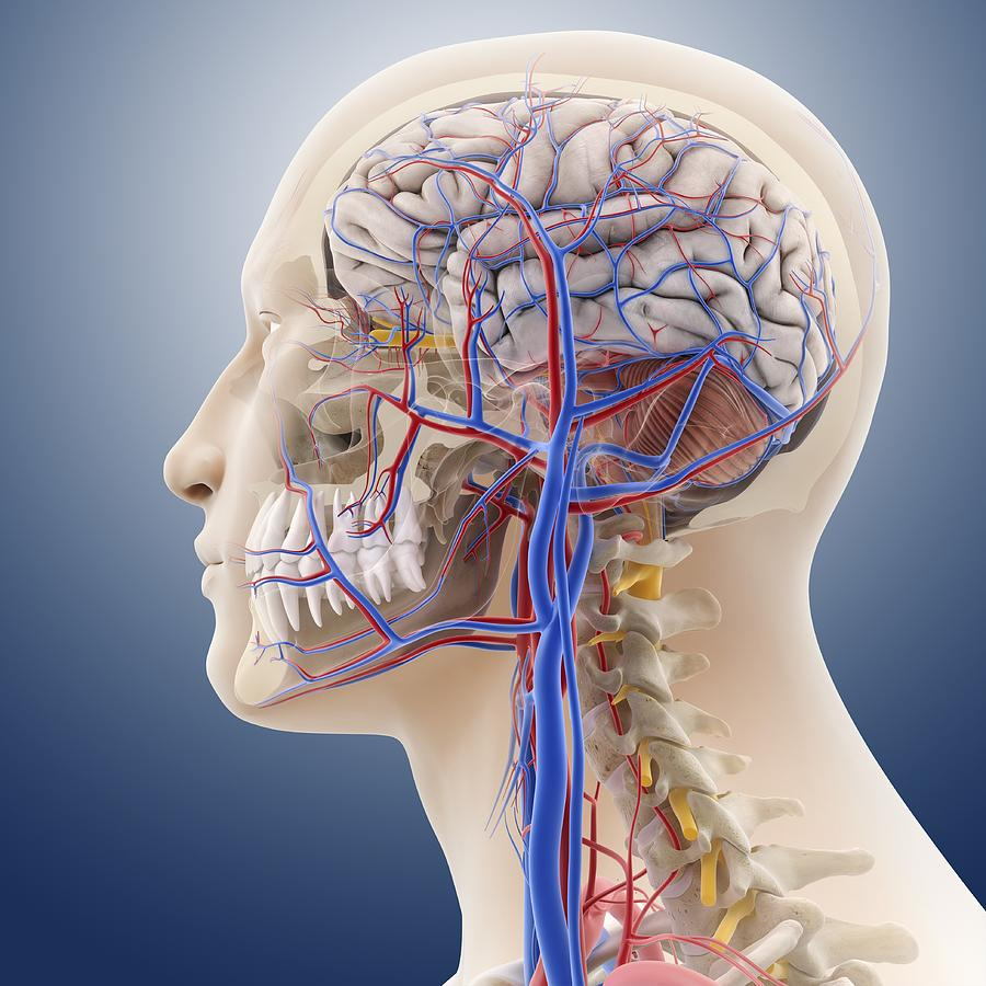 Grays anatomy head and neck 4423594 - follow4more.info