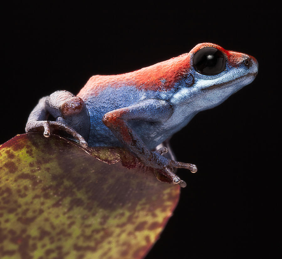 Escudo Photograph - Poison Dart Frog by Dirk Ercken