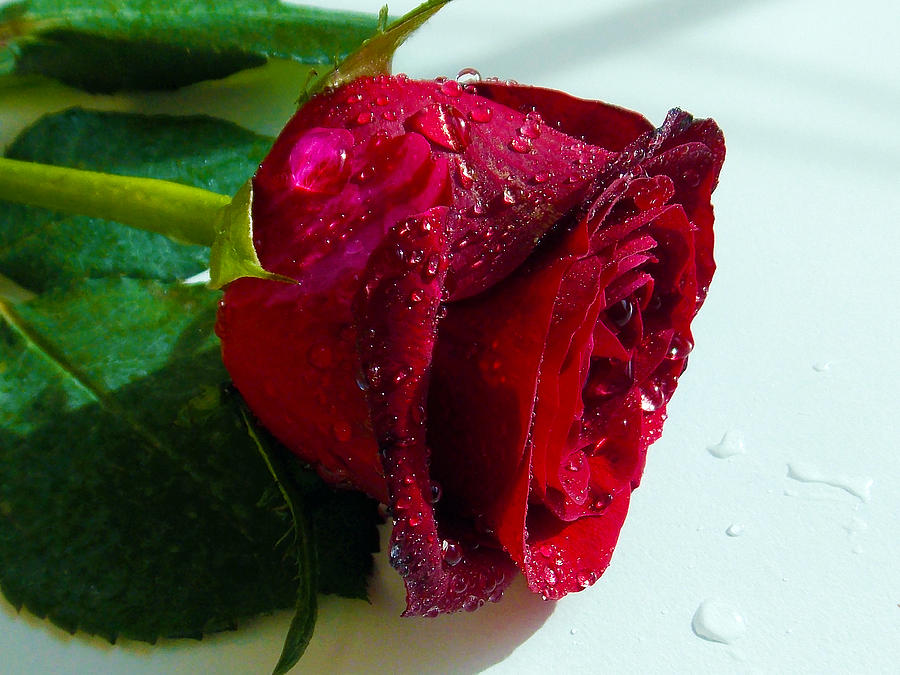 904-red Rose Photograph