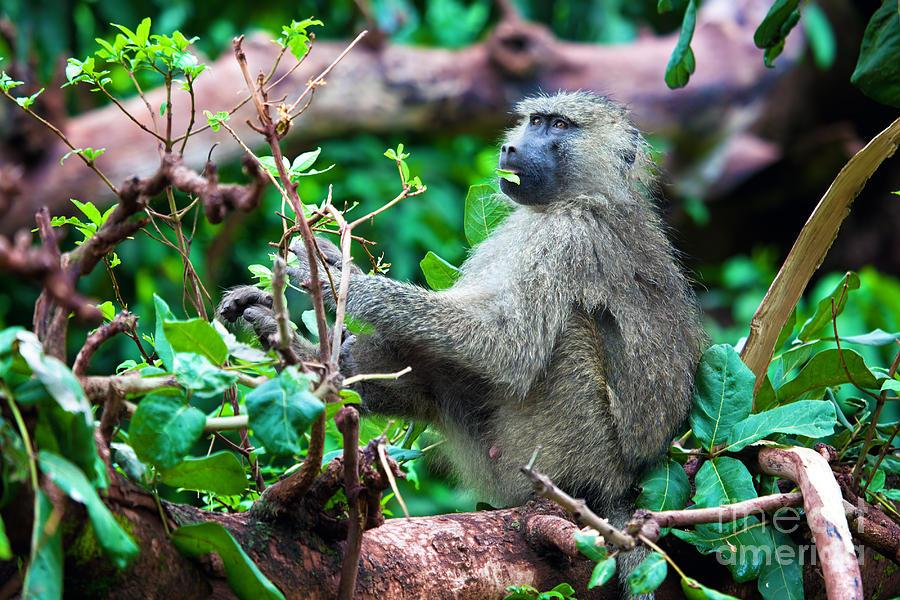 Baboon Photograph - A Baboon In African Bush by Michal Bednarek