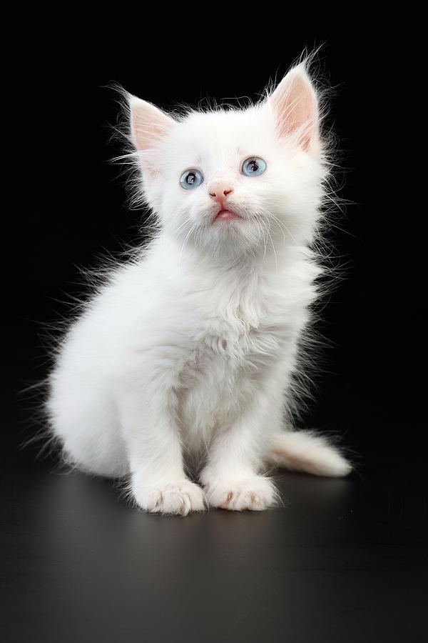 A Beautiful Little White Cat With Wonderful Blue Eyes by ...