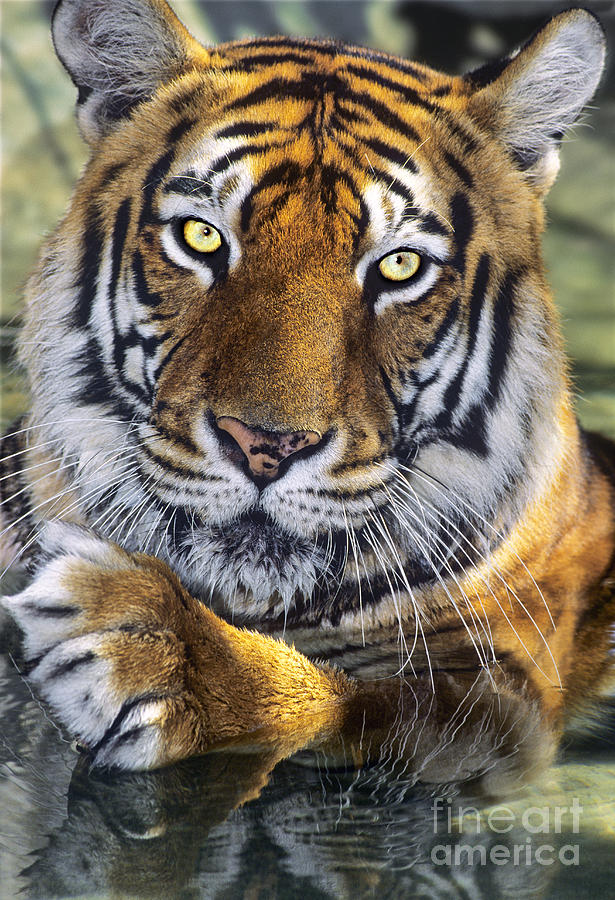 endangered species bengal tiger It is estimated that there are less than 3,000 bengal tigers left in the wild 7 for  more  endangered species: tigers secaucus, nj: chartwell books, 1990.