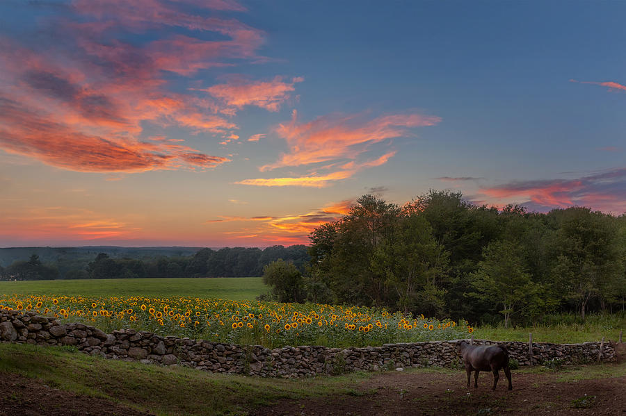 A Bovine Sunset Photograph