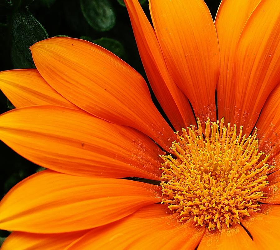 A Burst Of Orange Photograph  - A Burst Of Orange Fine Art Print
