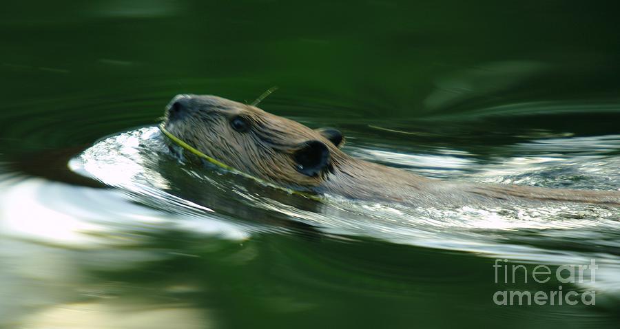 A Busy Beaver Photograph